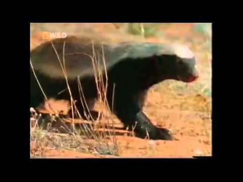 Video thumbnail for youtube video The Crazy Honey Badger