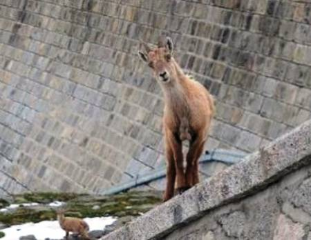 crazy-goats