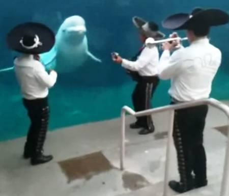 mariachi-serenades-beluga-whale