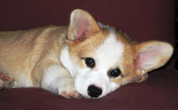 adorable-corgi-pictures-4