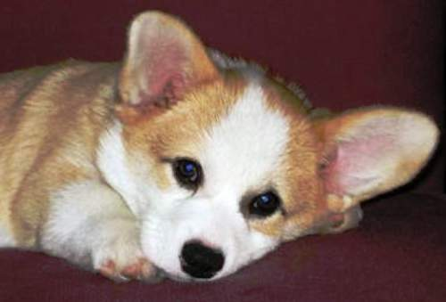 cutest-little-corgi