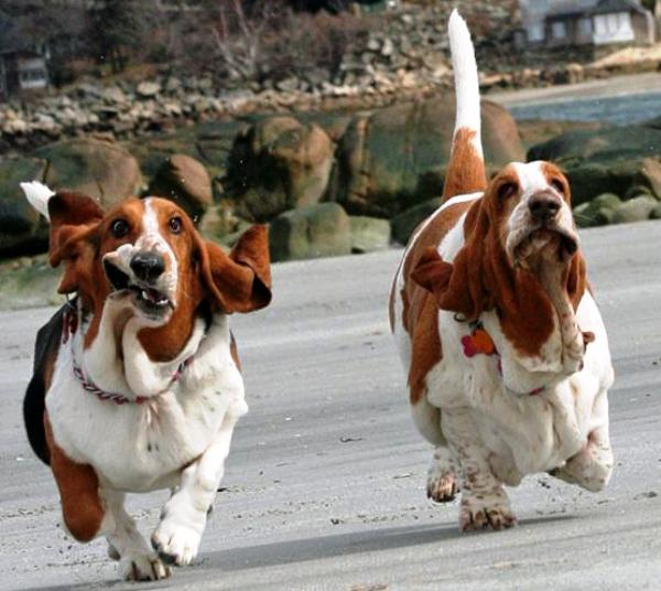 Two Basset Hounds Playing Together Photo