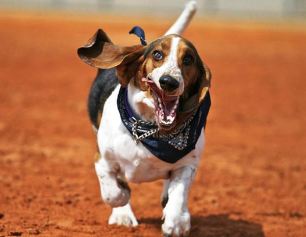 Basset Hounds Running Picture