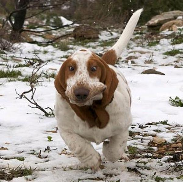 Cross Eyed Basset Hound Runs In The Snow