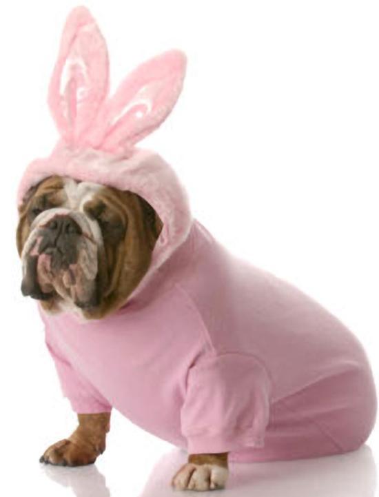 Bulldog In Bunny Costume