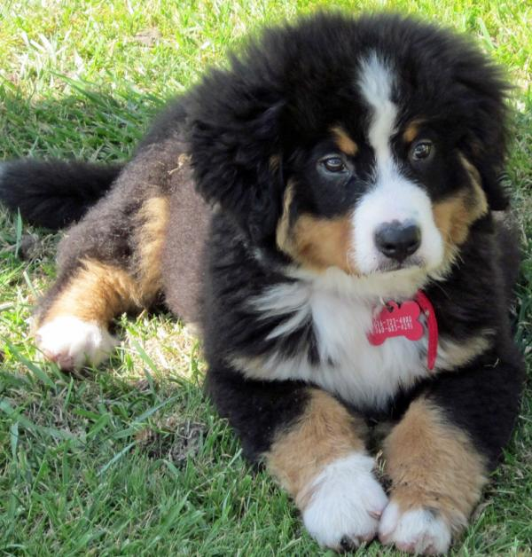 burmese-mountain-dog-puppy-2