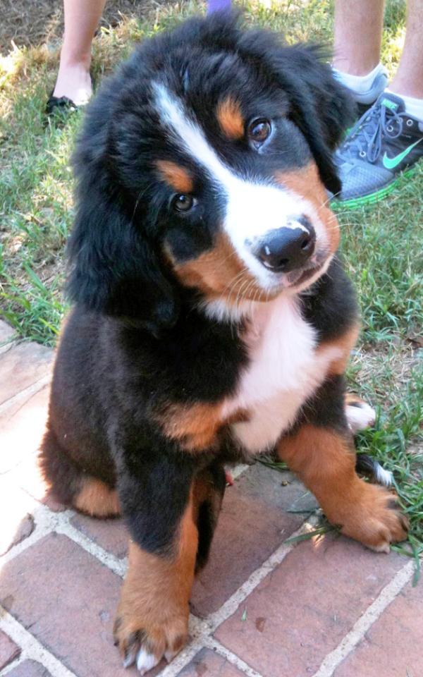 burmese-mountain-dog-puppy-6