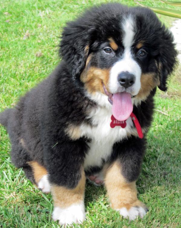 burmese-mountain-dog-puppy-7