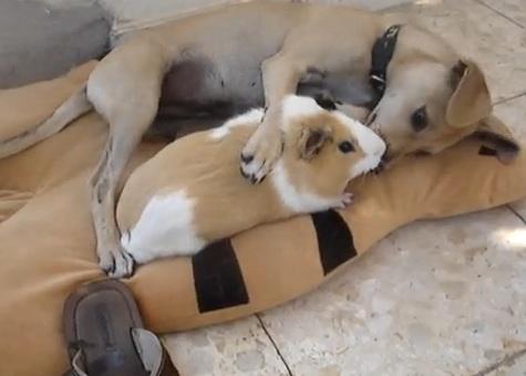 dog-guinea-pig