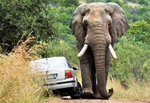 elephant-road-rage