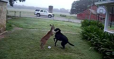 lab-deer-play