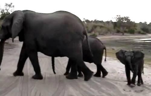sneezing-baby-elephant
