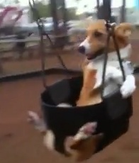 corgi-swing-set