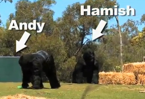 gorillas-video