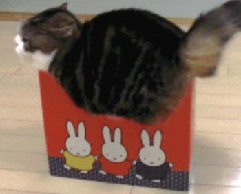 cat-fits-box