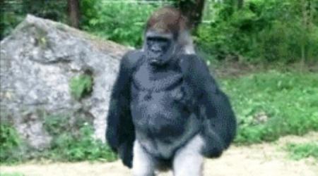 gorilla-fuck-this