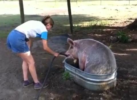 pig-cools-off