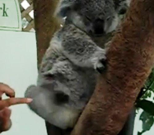 tickle-a-koala