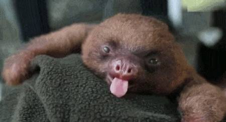 yawning-baby-sloth