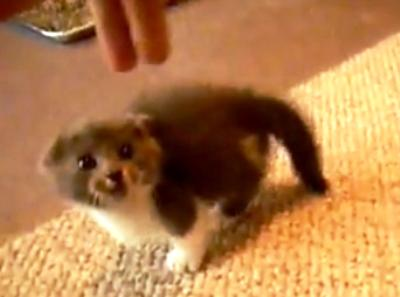 6-week-old-kitten