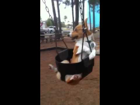 Video thumbnail for youtube video Corgi On A Swing Set