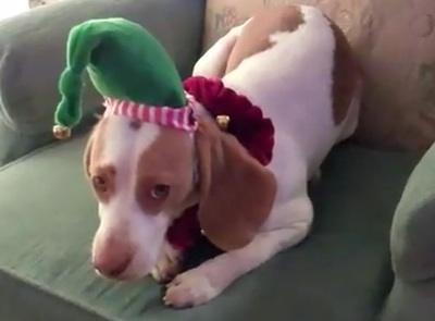 dog-hates-christmas