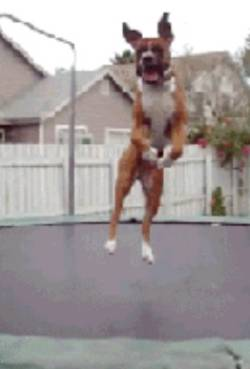 bull-dog-trampoline
