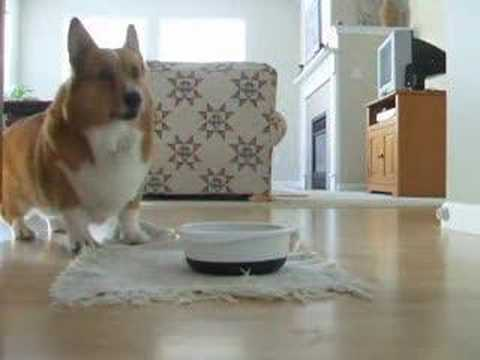 Video thumbnail for youtube video Cute Corgi Dances For Food