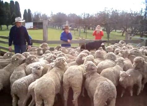 dog-walk-sheep