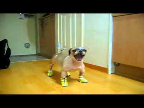 Video thumbnail for youtube video Dog's New Shoes