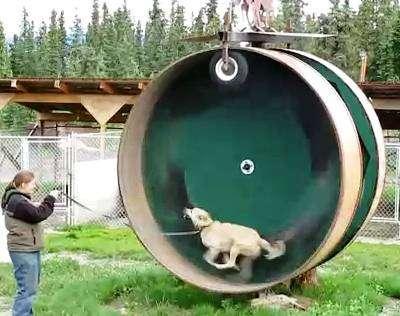 alaskan-husky-exercise-wheel