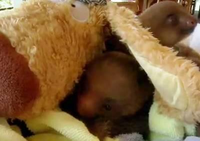 baby-sloths-swaddled