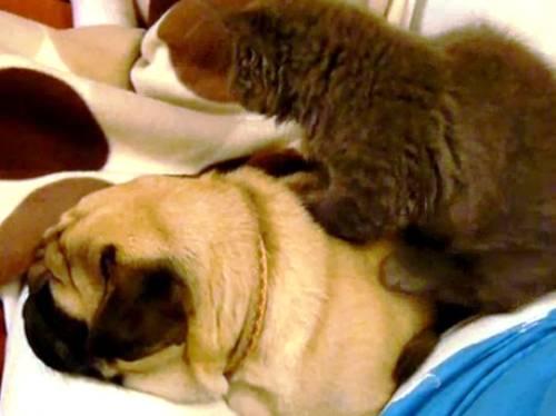 cat-pug-massage