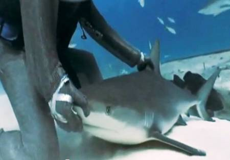 diver-hypnotizes-sharks