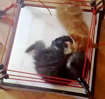 kitten-wrestling