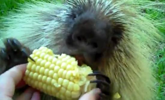porcupine-eats-corn