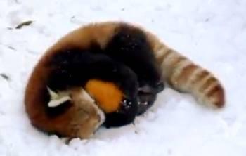 red-panda-pumpkin