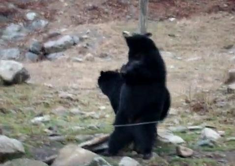 dancing-bear-video