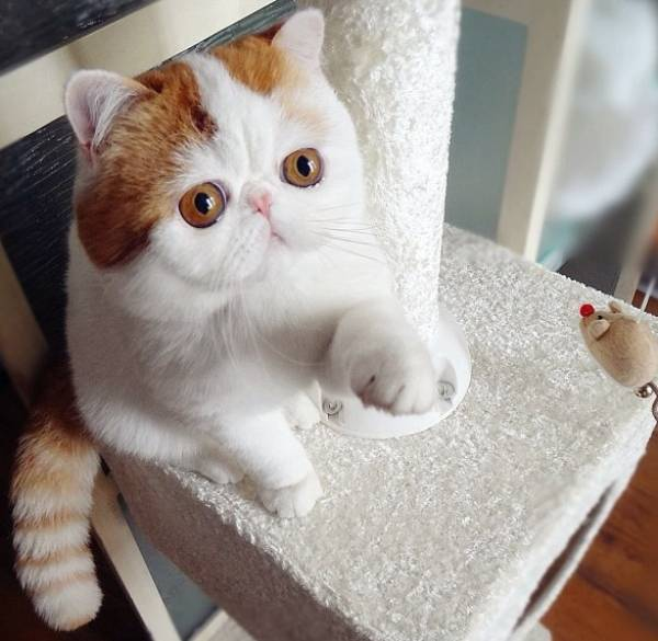Meet The Cutest Cat Ever Snoopy The Cat