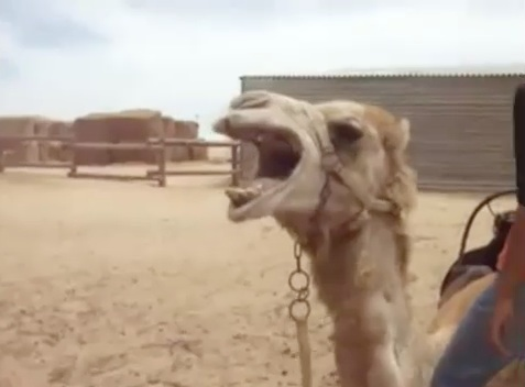 The Death Metal Camel