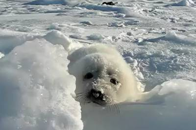 adorable-baby-seal-noises