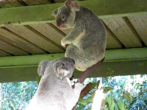 Two Koalas Fighting