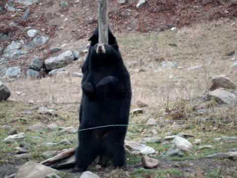 Just A Bear Dancing