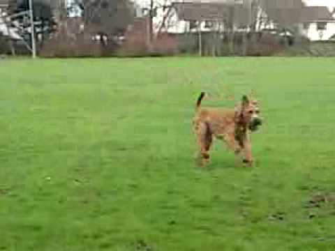An Irish Terrier Seeking Its Owner