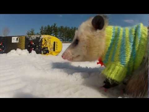 A Snowboarding Opossum