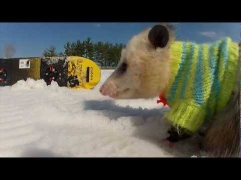 Video thumbnail for youtube video A Snowboarding Opossum