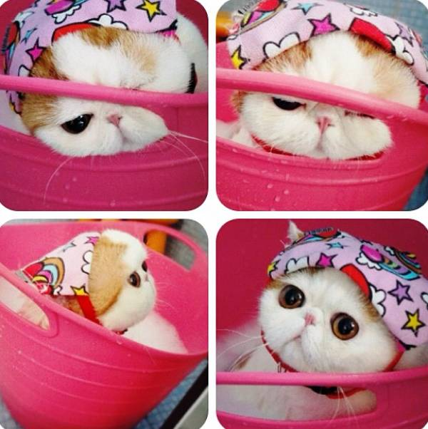 Cutest Exotic Short Hair Cat Bath Picture