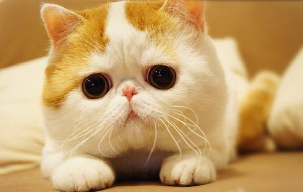 Cute Cat Has A Flat Face