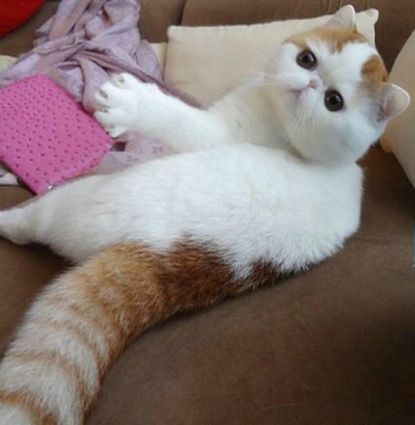 Cutest Short Hair Cat Ever