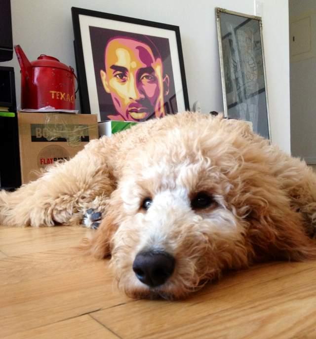 cutest-golden-doodle-puppy-face